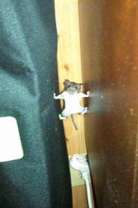 ERWISCHT! Maus auf frischer Tat ertappt