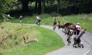 Hirsch rammt Radfahrer